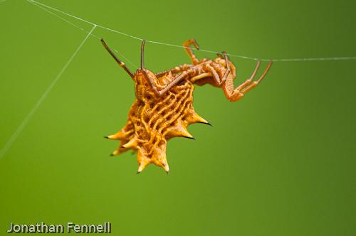 Crazy Spider