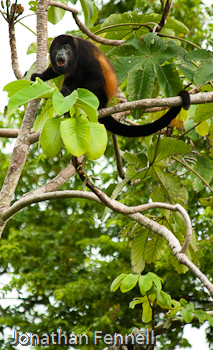 Howler Monkey Costa Rica