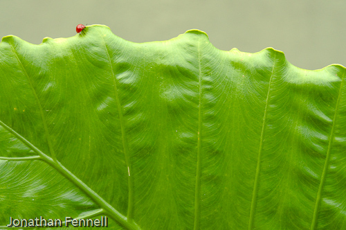 Lady Bug on giant leaf