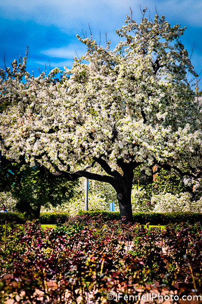 Pear Trees Blossoming in Balboa Park